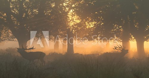 Fototapeta Red Deer Stags Bellowing