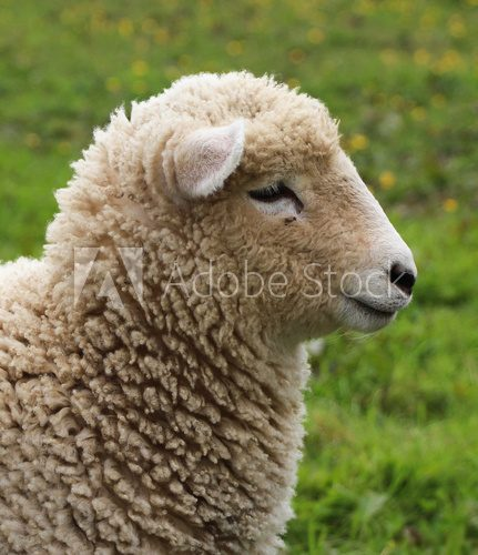 Fototapeta Wooly Sheep
