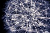 Fototapeta Constellation Dandelion