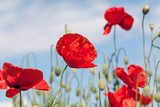 Fototapeta Poppy meadow